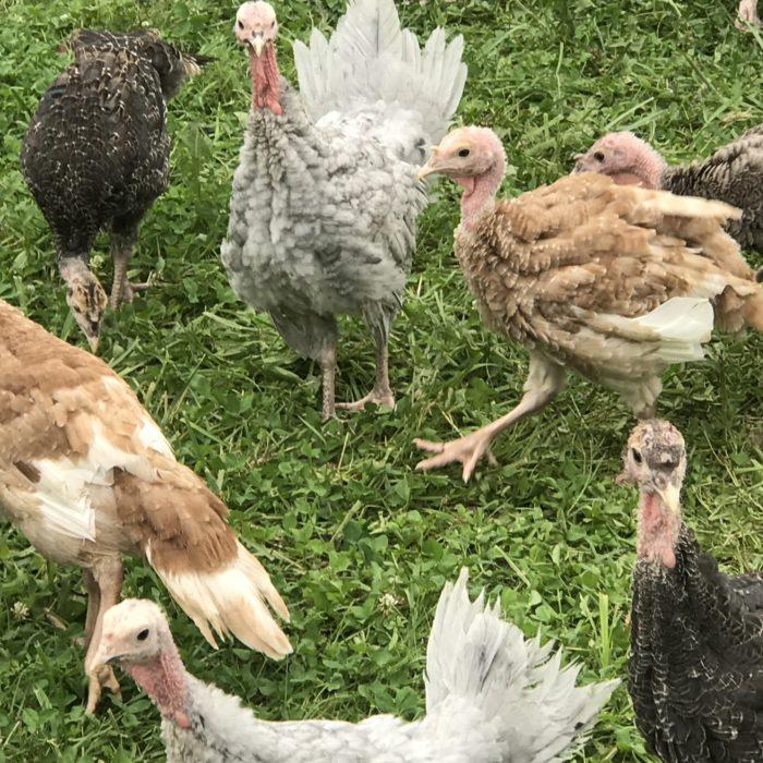 Heritage Breed Turkeys