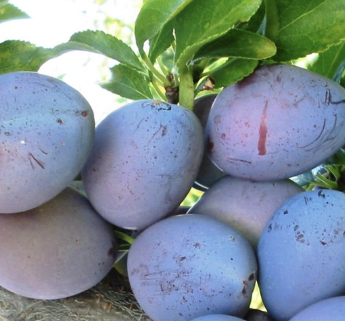 Fellenburg Plums