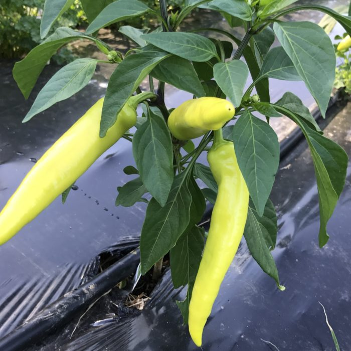 Hungarian Hot Peppers